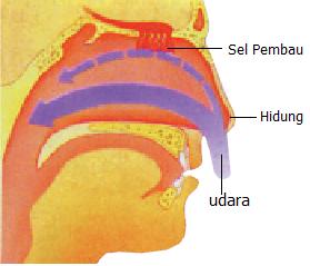 Diagram Hidung