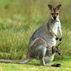 kangguru (kanguru)