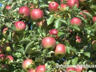 10 Negara Penghasil Buah Apel Terbesar di Dunia
