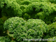 Kandungan Gizi Sayur Kale dan Manfaatnya bagi Kesehatan